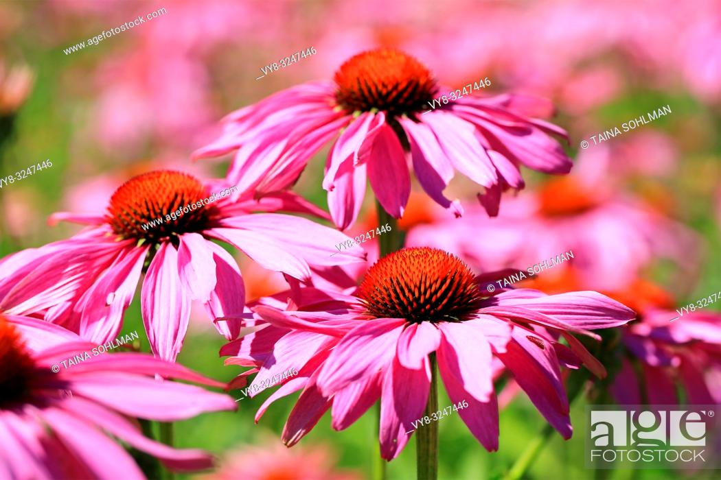 Stock Photo: Flowers of Echinacea purpurea or Eastern Purple Coneflower blossoming in the garden at summer.