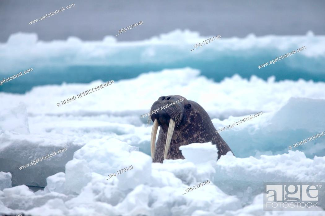 Stock Photo: Walrus, Odobenus rosmarus, swimming in Arctic Sea between ice floes, Spitsbergen, Svalbard.