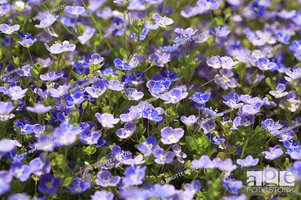 Stock Photo: Meadow, Gamander-Ehrenpreis, Veronica Chamaedrys, detail, blooms, meadow-flowers, flowers, plants, special award, Braunwurzgewächse, blooms, prime, blue.
