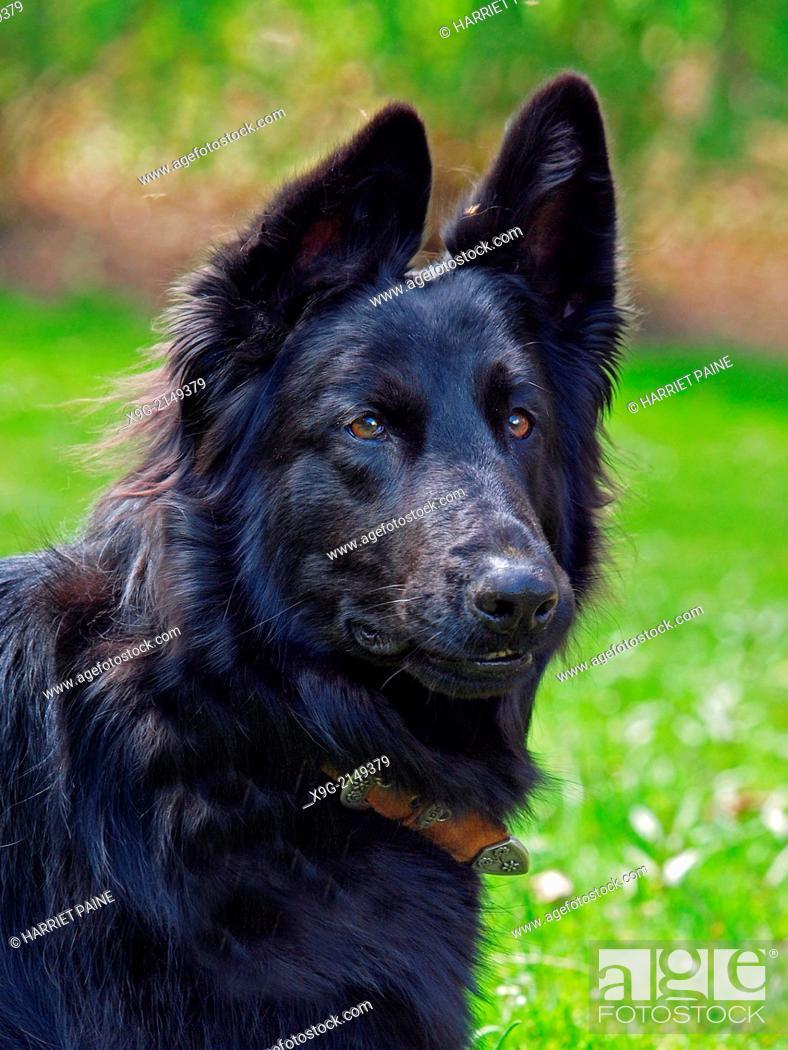 Stock Photo: Black German Shepherd.