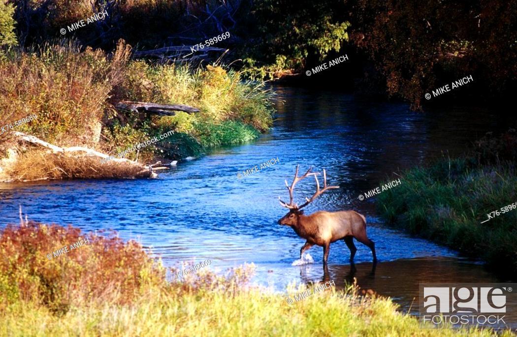 Stock Photo: Bull Elk (Cervus elaphus). Montana. USA.