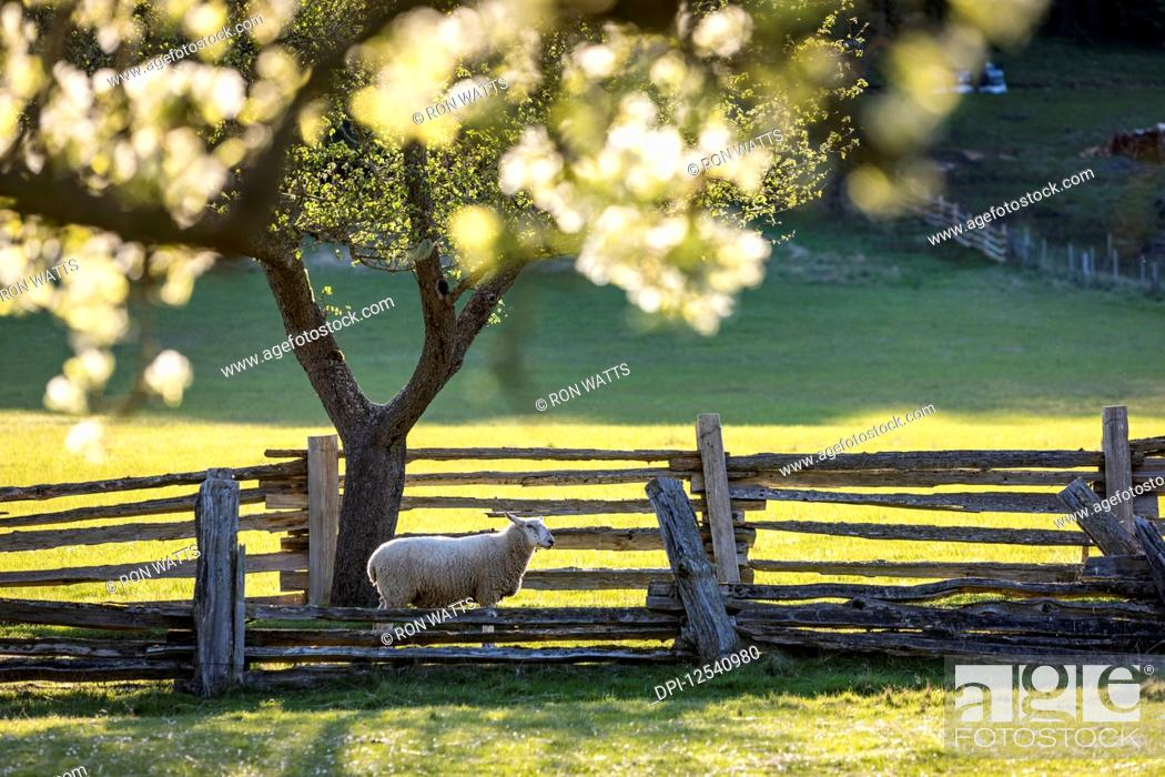 Stock Photo: A lone sheep heads for pasture under apple blossums on the farm of Ruckle Provincial Park; Salt Spring Island, British Columbia, Canada.