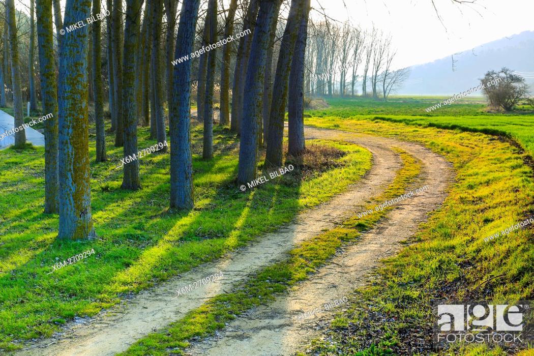 Stock Photo: Poplar grove. Murieta, Navarre. Spain, Europe.