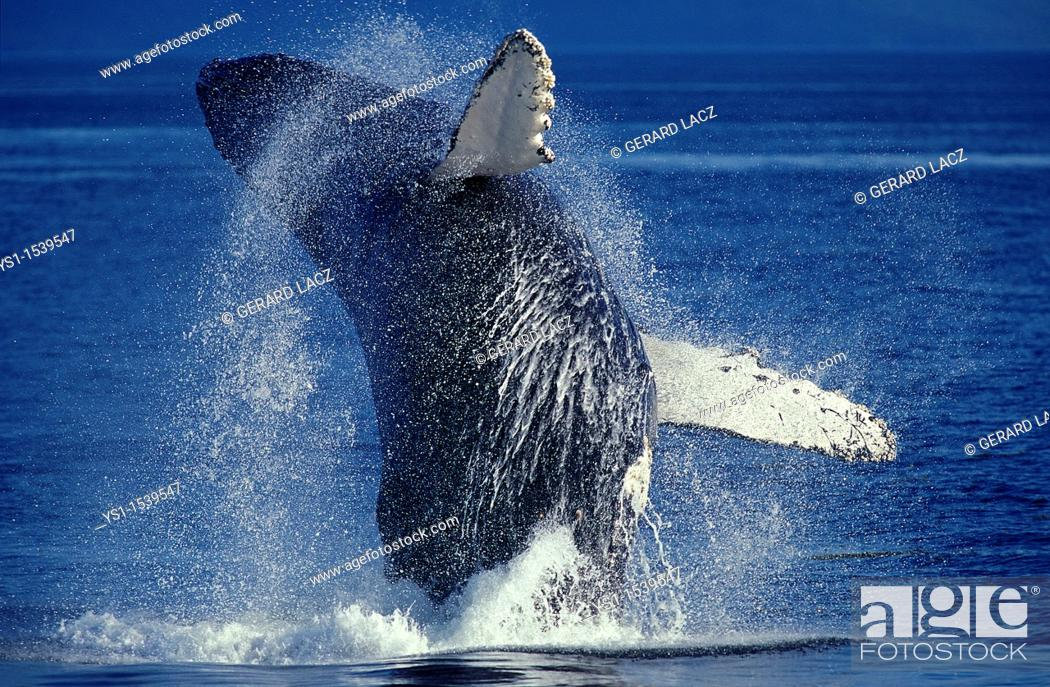 Stock Photo: Humpack Whale, megaptera novaeangliae, Adult Breaching, Alaska.