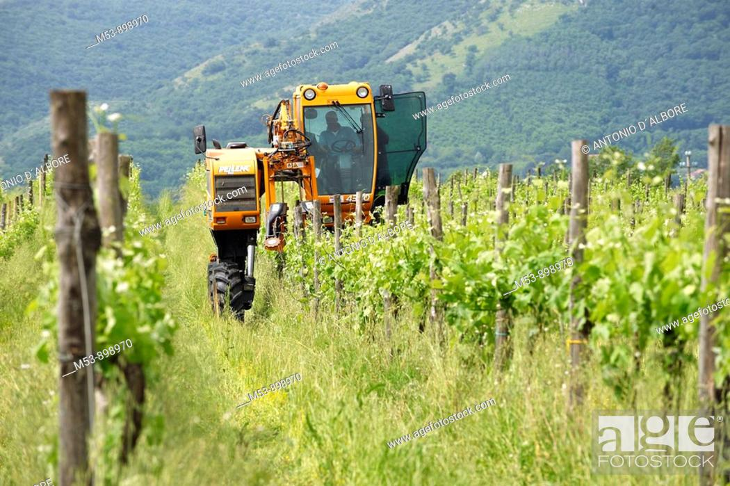 Stock Photo: farmer operate wire lifter tractor in a vineyard  dugenta  province of benevento  campania  italy  europe.