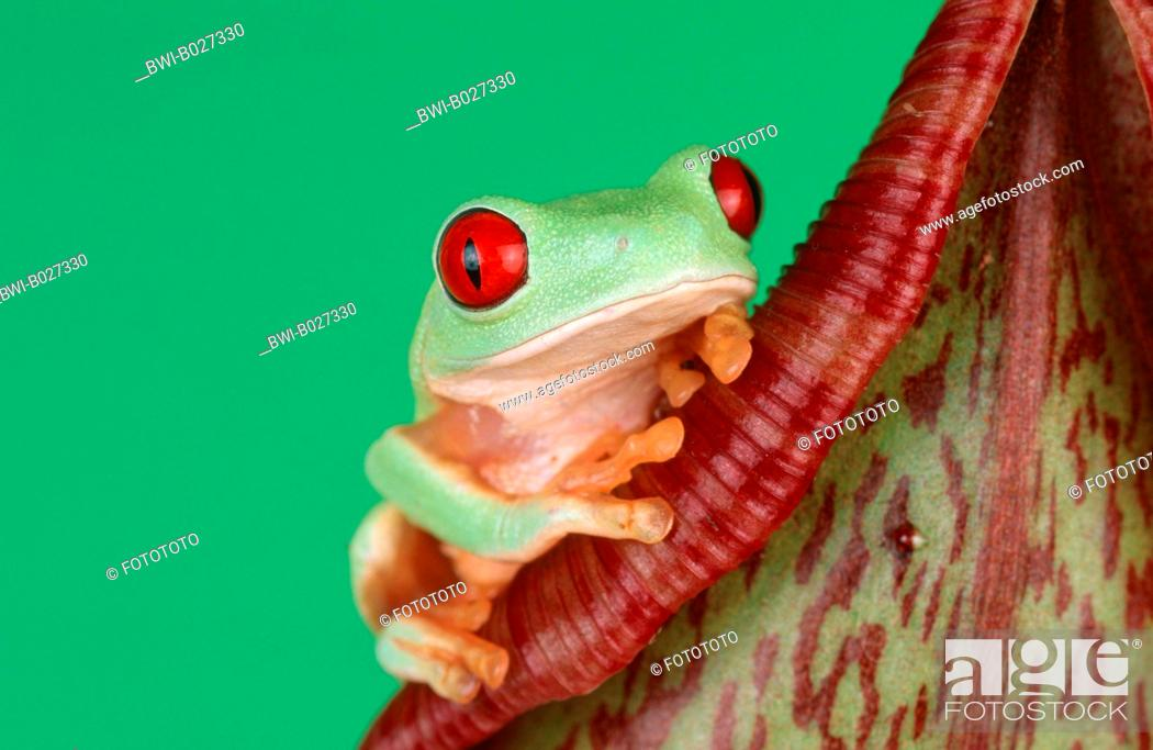 Stock Photo: red-eyed treefrog (Agalychnis callidryas), on a tropical pitcher plant, Nepenthes.