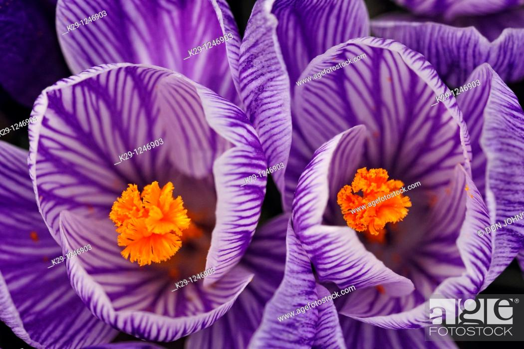 Stock Photo: Crocus blossoms in early spring.