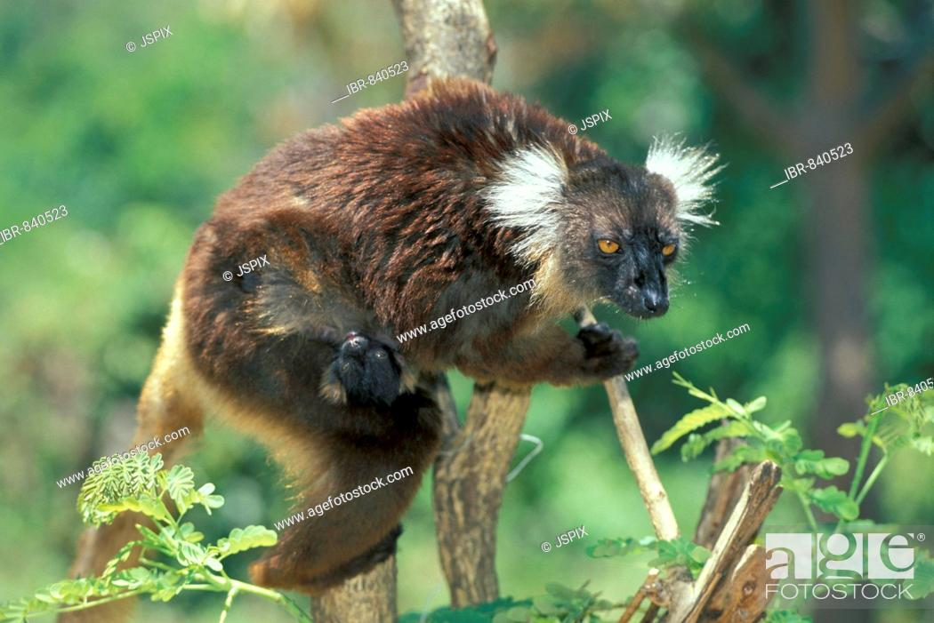Stock Photo: Black Lemur (Eulemur macaco), adult female with young in a tree, Nosy Komba, Madagascar, Africa.