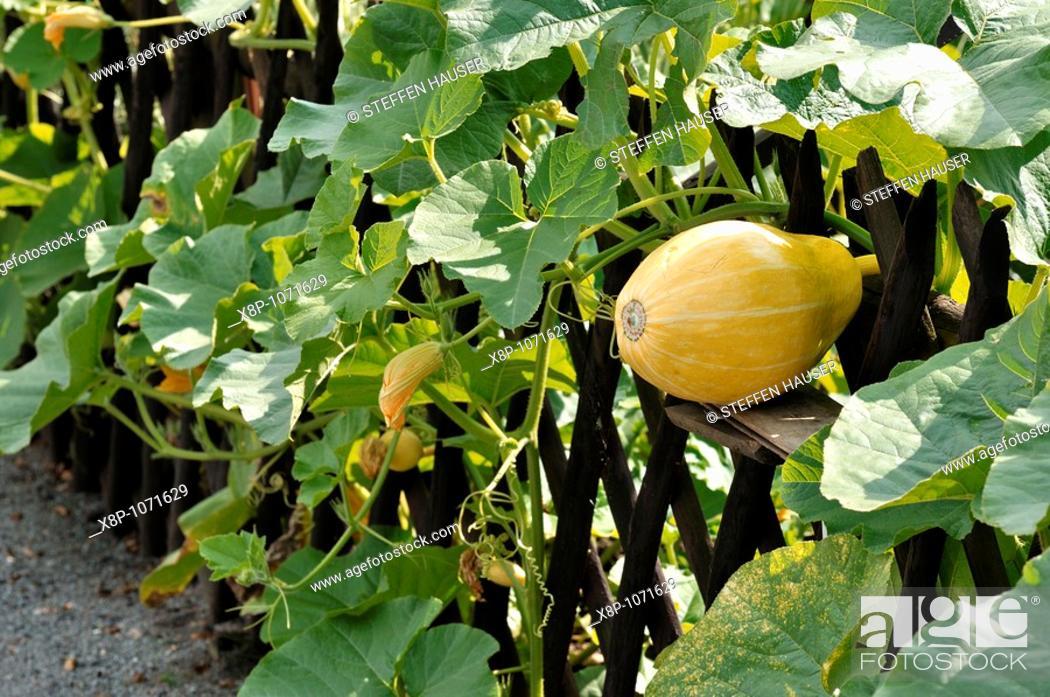 Stock Photo: Squash Cucurbita growing in a fence.