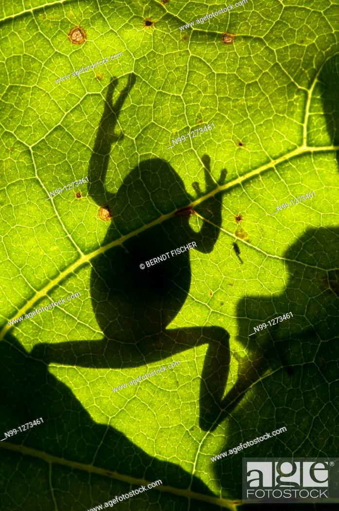 Stock Photo: Tree Frog (Hyla arborea), climbing on a leaf, silhouette in back light, Bavaria, Germany.