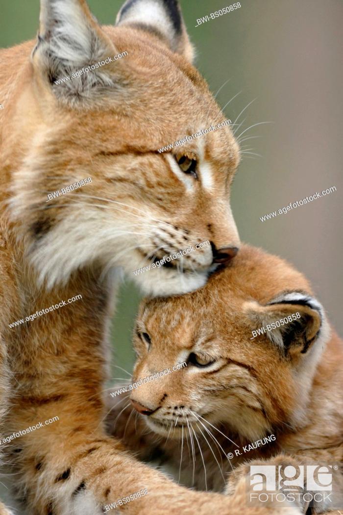 Stock Photo: Eurasian lynx (Lynx lynx), female smooching with cub.