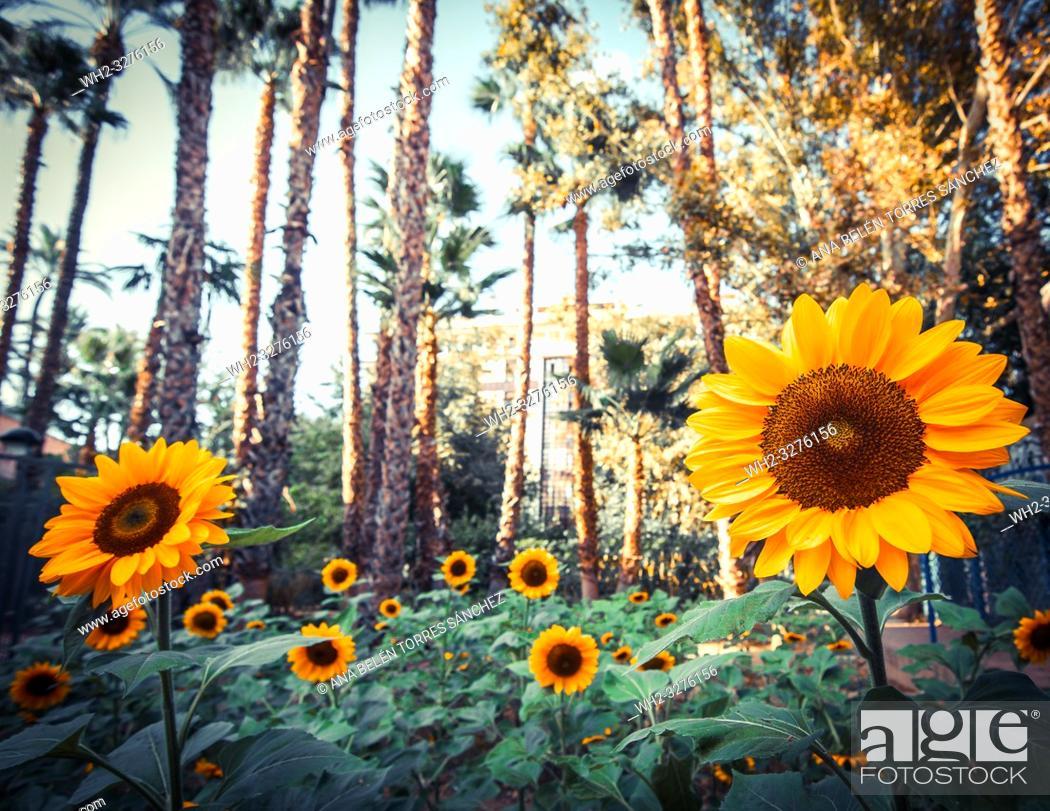 Photo de stock: Field of sunflowers.