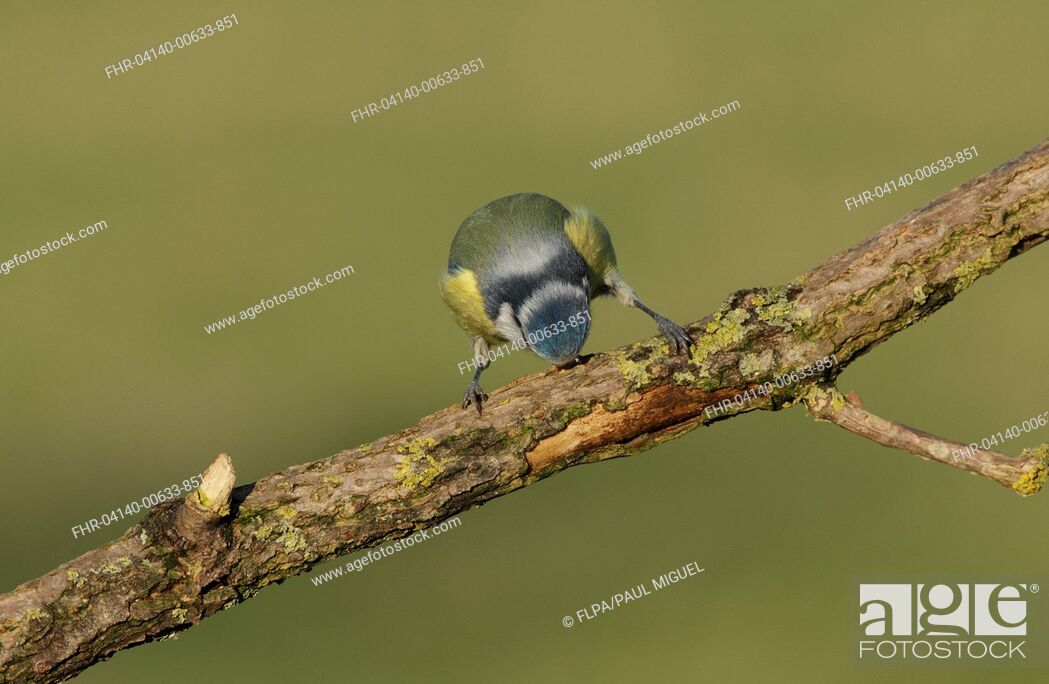 Stock Photo: Blue Tit (Cyanistes caeruleus) adult, stripping bark from branch, West Yorkshire, England, December.