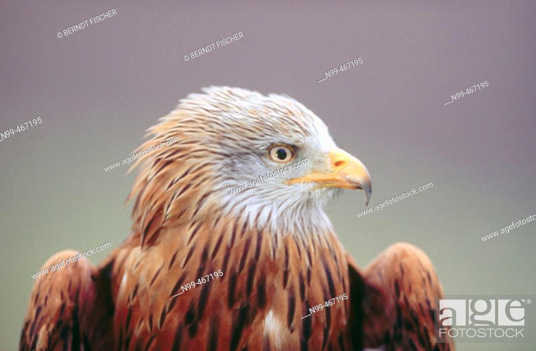 Stock Photo: Red kite (Milvus milvus) portrait. Nationalpark Kellerwald-Edersee. Hesse. Germany.
