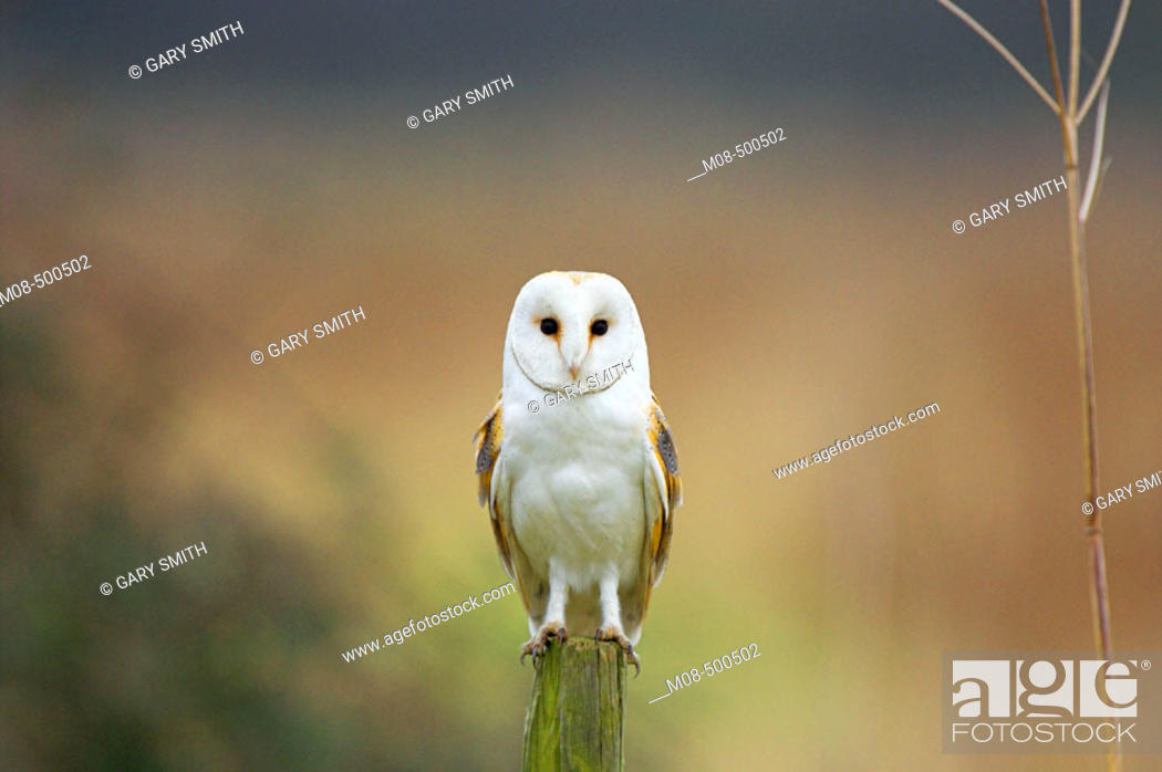 Stock Photo: Barn Owl (Tyto alba) perched on post on set a side ground in dull weather, Norfolk, February.