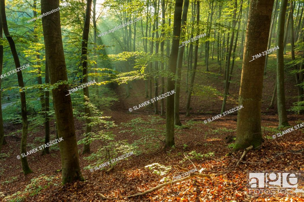 Stock Photo: Autumn morning in the forest, Gdynia, pomorskie province, Poland.
