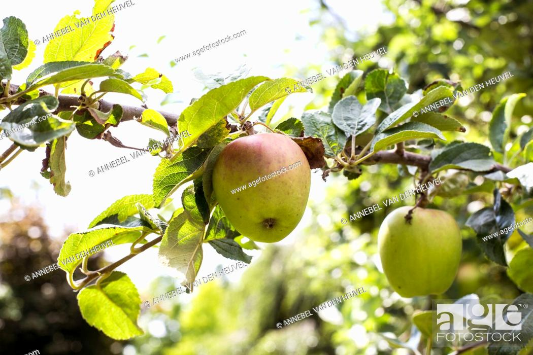 Stock Photo: Fresh ripe apples hanging from a tree in the summer season, ready for harvest sunlight green colors.