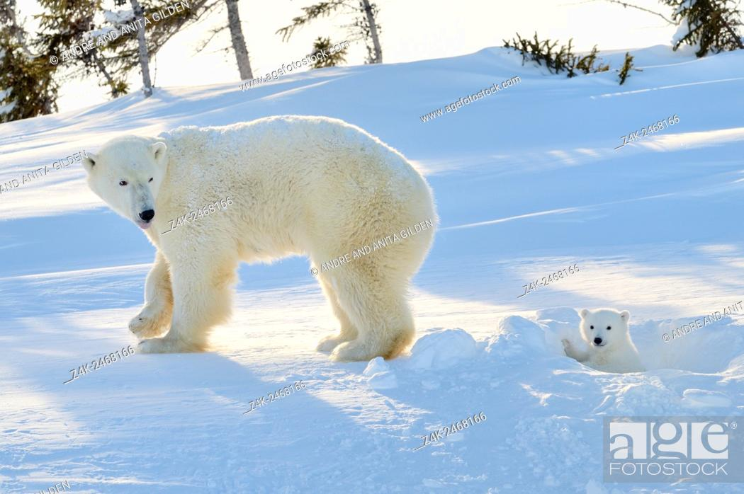 Imagen: Polar bear (Ursus maritimus) mother with cub coming out freshly opened den, Wapusk national park, Canada.