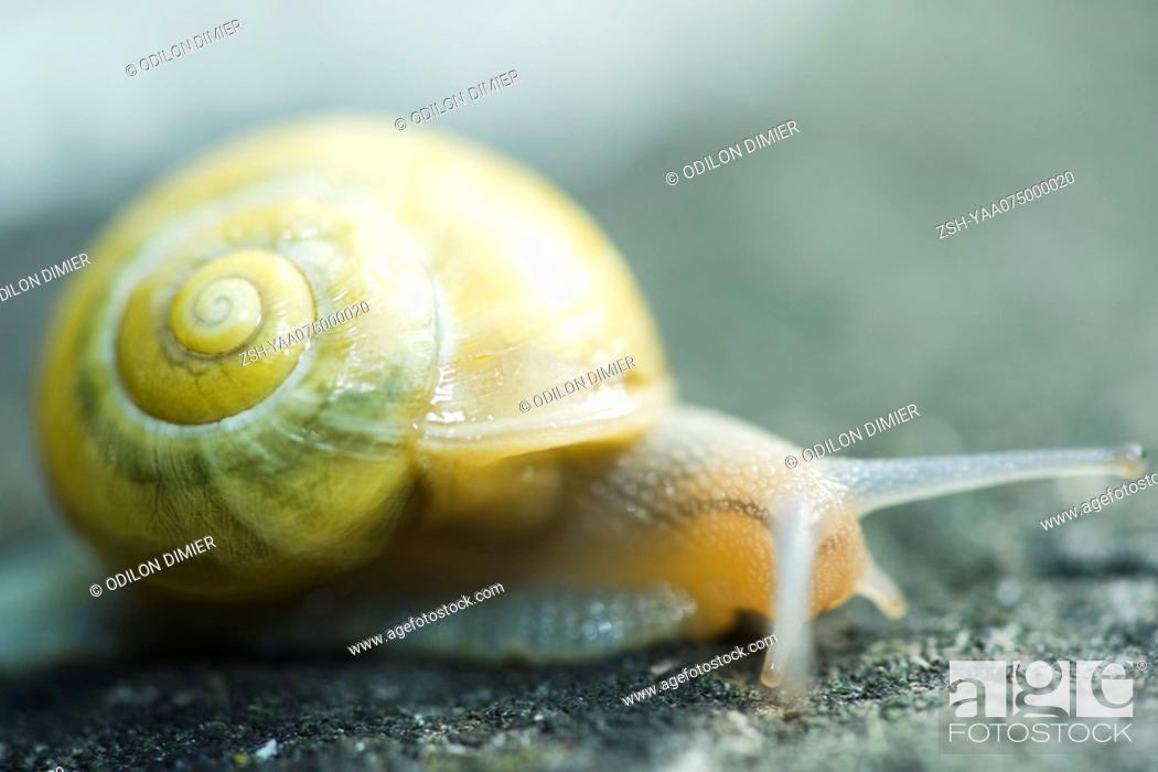 Stock Photo: White-lipped snail cepaea hortensis.