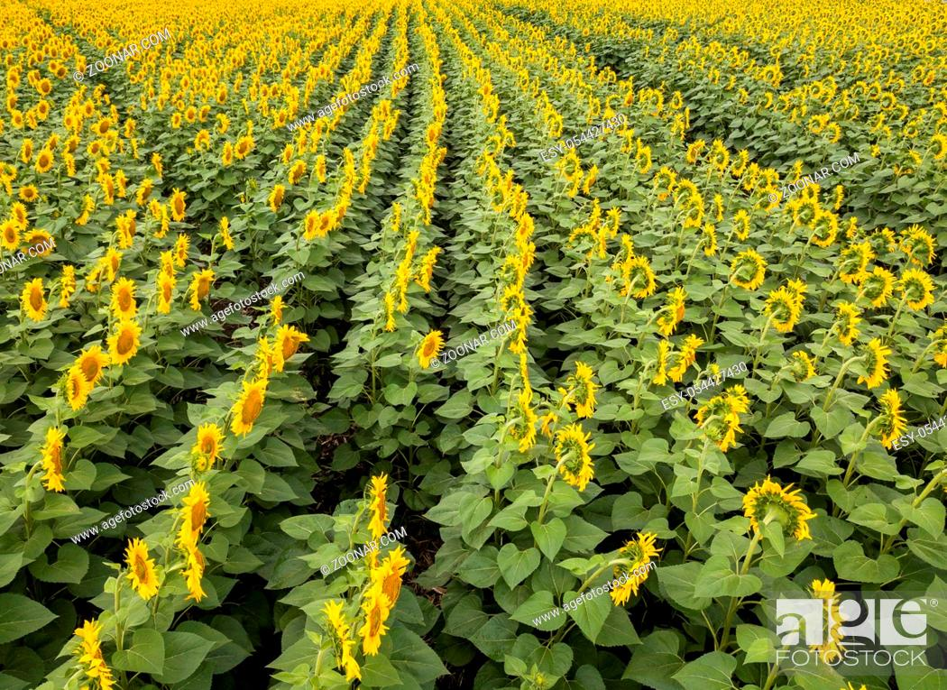 Stock Photo: Aerial photography from flying drone to a wonderful field of sunflowers by summertime at sunset. Natural flowering background.