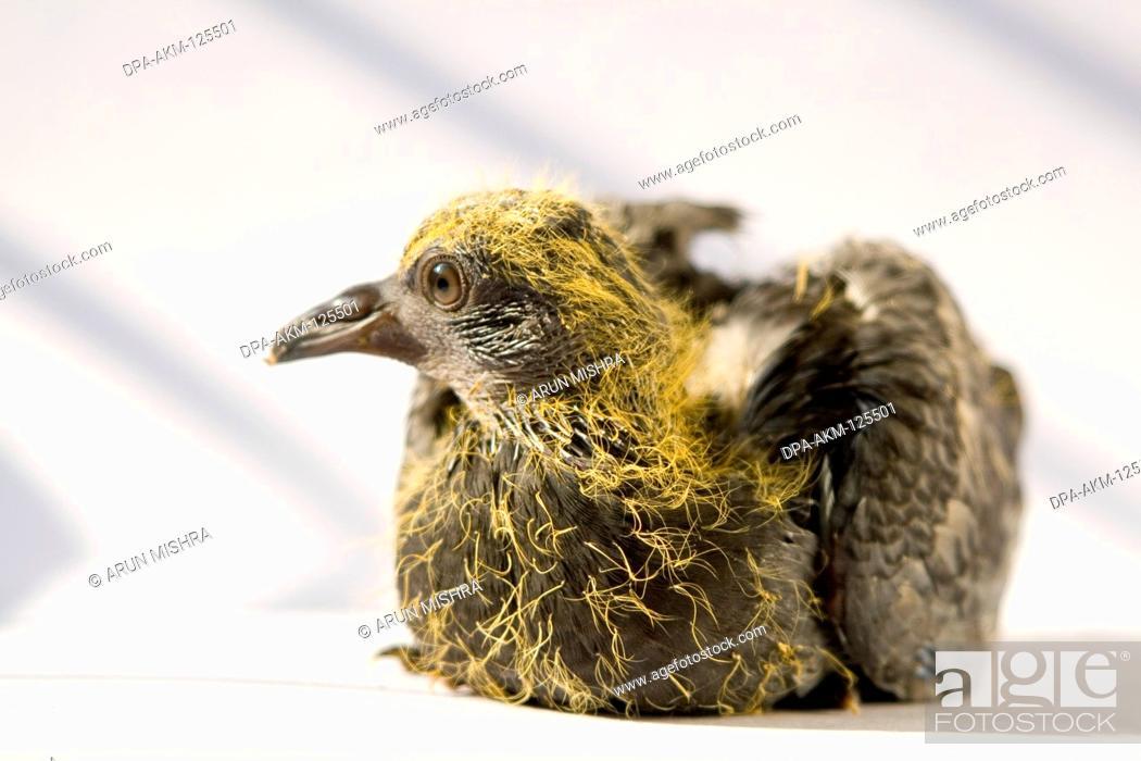 Birds , Blue rock pigeon in Hindi name Gola Kabootar , India, Stock