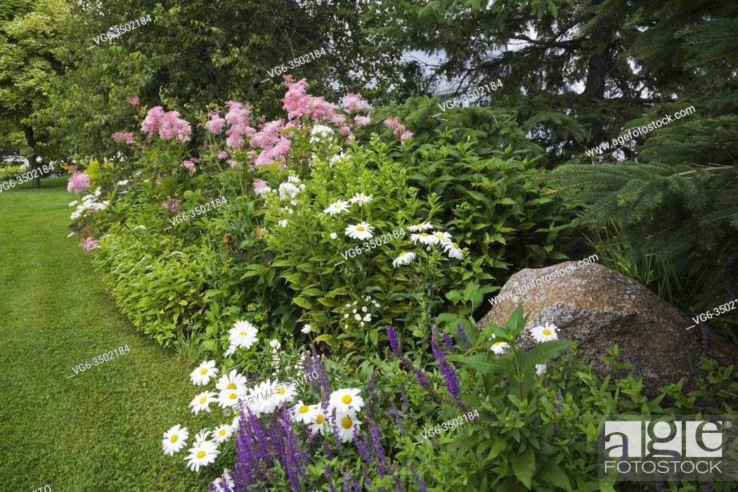 Stock Photo: Border with purple Salvia - Sage, white Leucanthemum superbum 'Snow Lady' - Daisies, pink Filipendula rubra - Queen of the Prairie flowers in backyard garden in.
