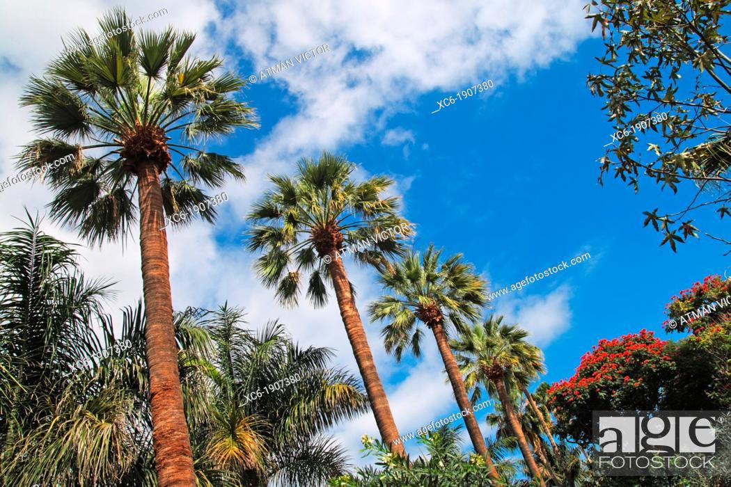 Stock Photo: palm trees row in Garcia Sanabria Park in Santa Cruz de Tenerife city center Spain.