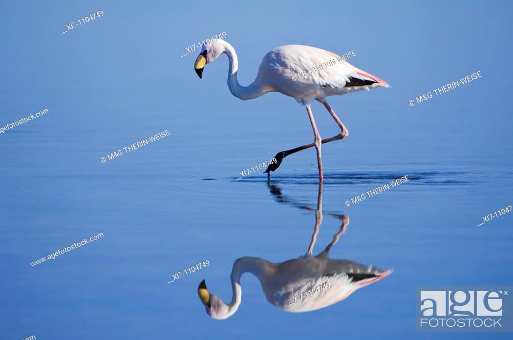 Stock Photo: Puna or James's Flamingo Phoenicoparrus jamesi, Phoenicopteridae family, Laguna de Chaxa, Atacama desert, Chile.