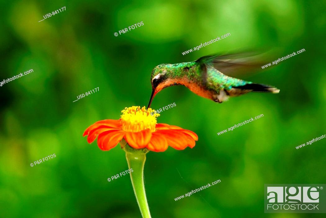 Stock Photo: Hummingbird visiting Mexican flower, Apodiformes, Trochilidae, Marechal Floriano, Espírito Santo, Brazil.