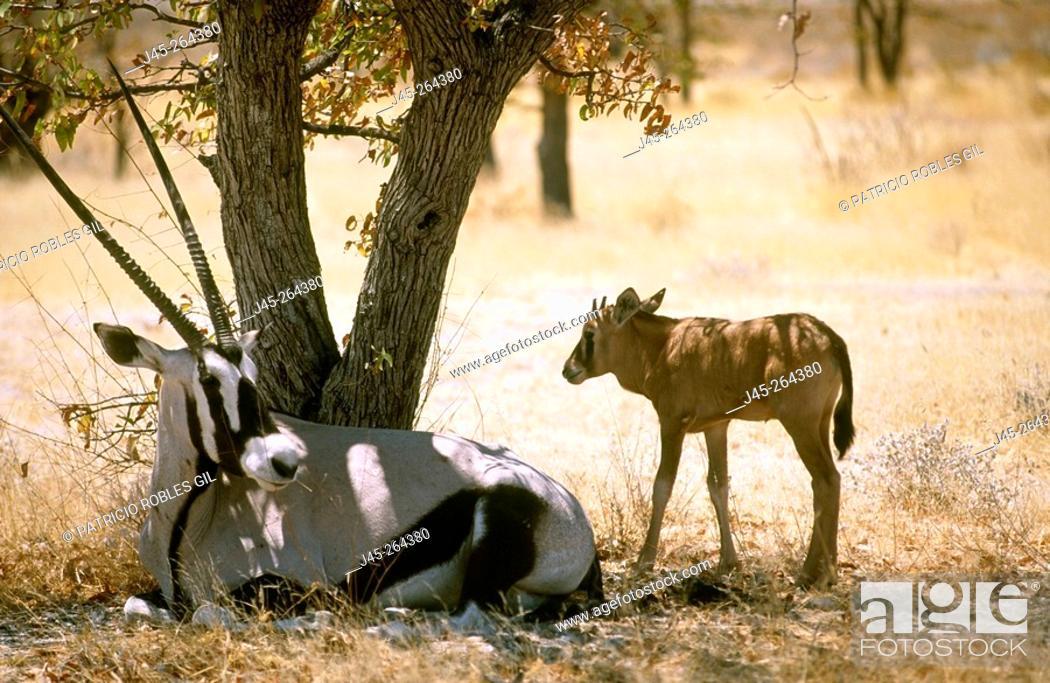 Stock Photo: Gemsboks (Oryx gazella). Namibia.