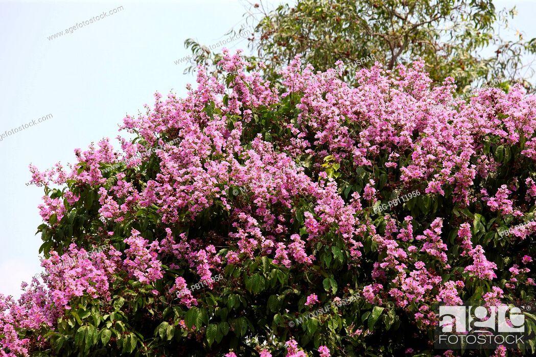 Imagen: Jarul flower Dhaka, Banbgladesh.