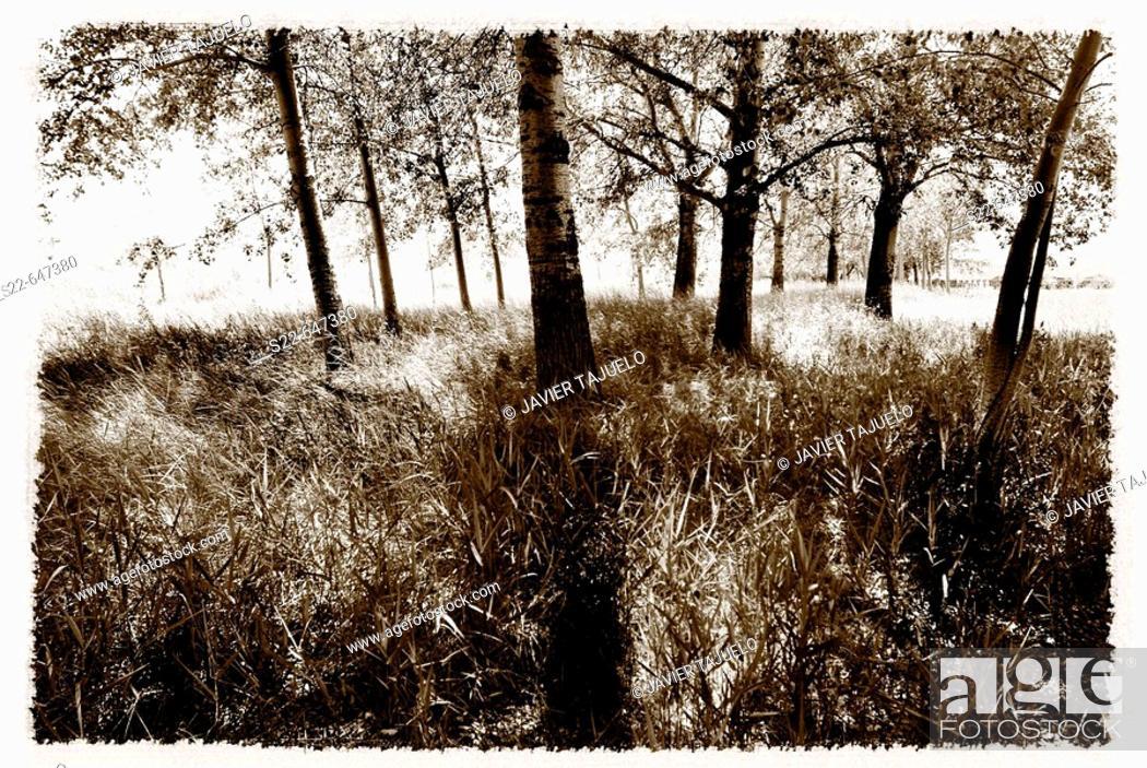 Stock Photo: White Poplar (Populus alba).