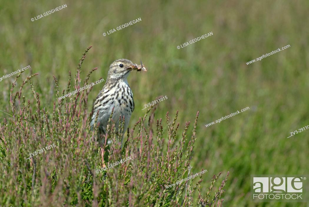 Imagen: Meadow Pipit - Anthus pratensis perches on Heather- Calluna vulgaris with food. Uk.