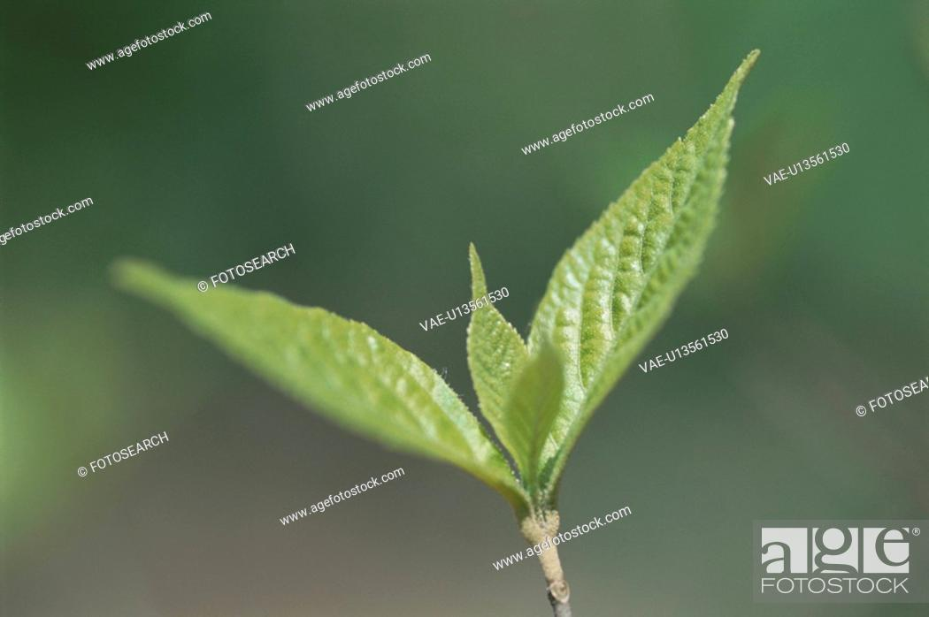 Stock Photo: New Leaves.