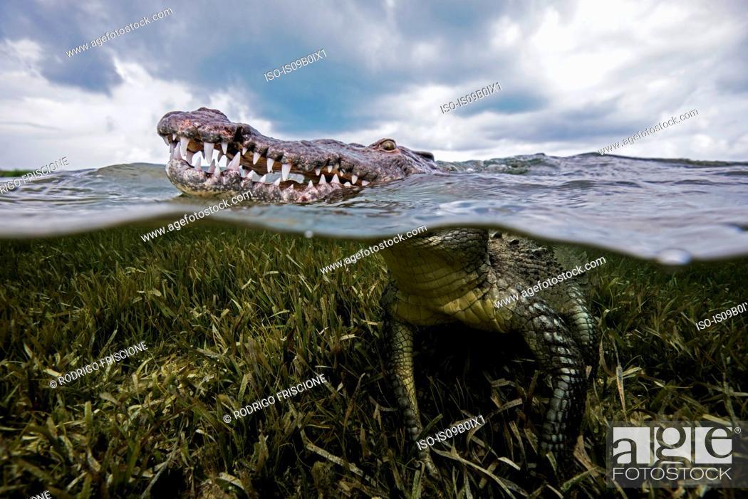 Stock Photo: American croc (Crocodylus acutus) at sea surface, Chinchorro Banks, Mexico.