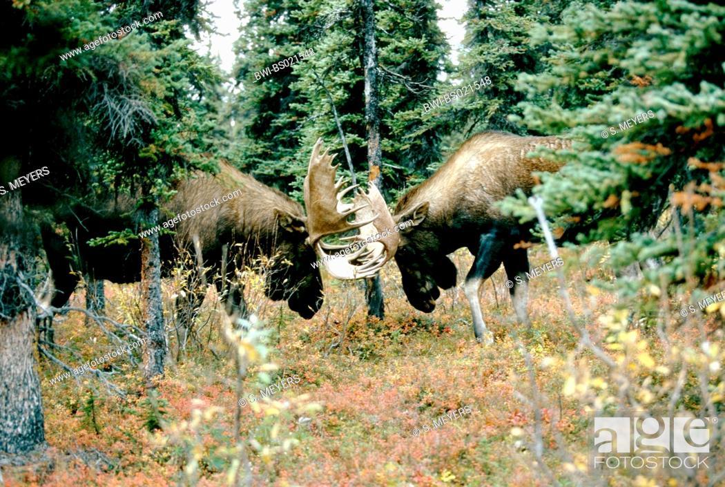 Stock Photo: Alaska moose, Tundra moose, Yukon moose (Alces alces gigas, Alces gigas), bulls fighting, USA, Alaska, Denali Nationalpark.
