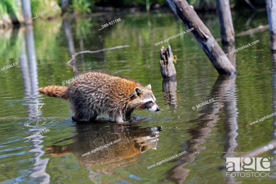 Stock Photo: Raccoon (Procyon lotor).