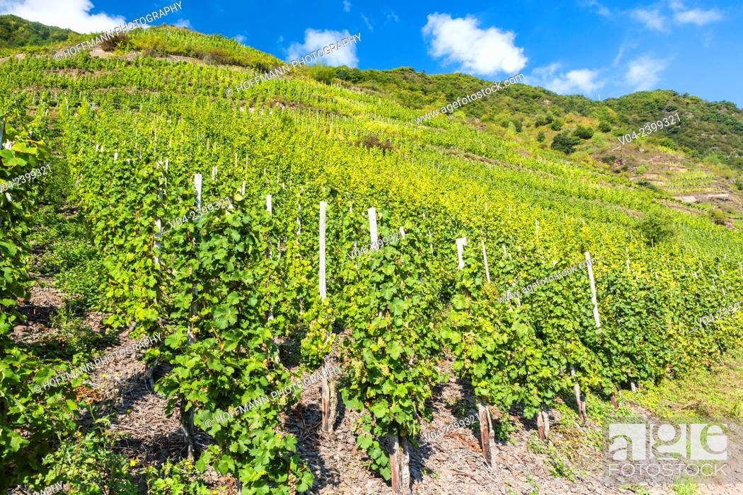 Stock Photo: Vineyards of the Calmont, Europe's steepest vineyard location, Bremm, Rhineland-Palatinate, Germany, Europe.