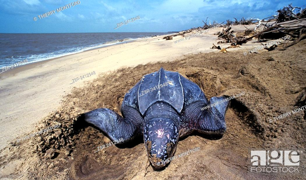 Stock Photo: Dermochelys coriacea - Leatherback turtle laying eggs on a beach in French Guiana.