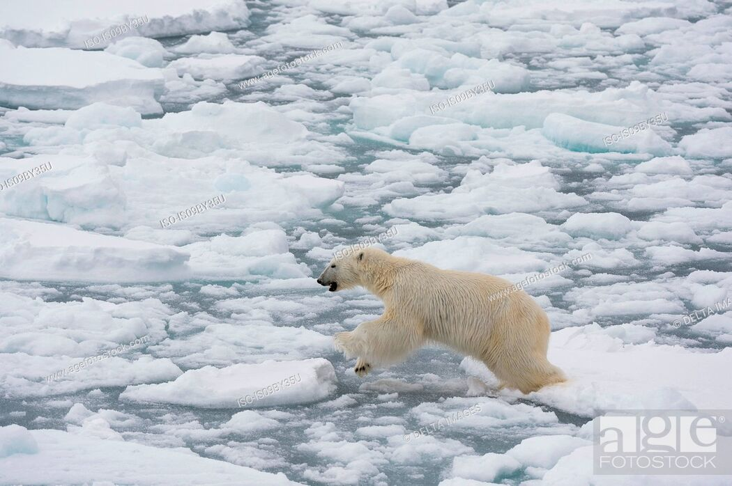 Stock Photo: Polar bear (Ursus maritimus), Polar Ice Cap, 81north of Spitsbergen, Norway.