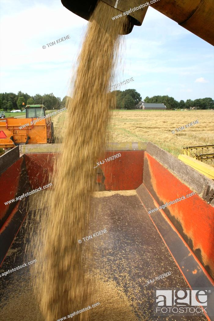 Stock Photo: harvesting barley in the netherlands It is used for beer production.