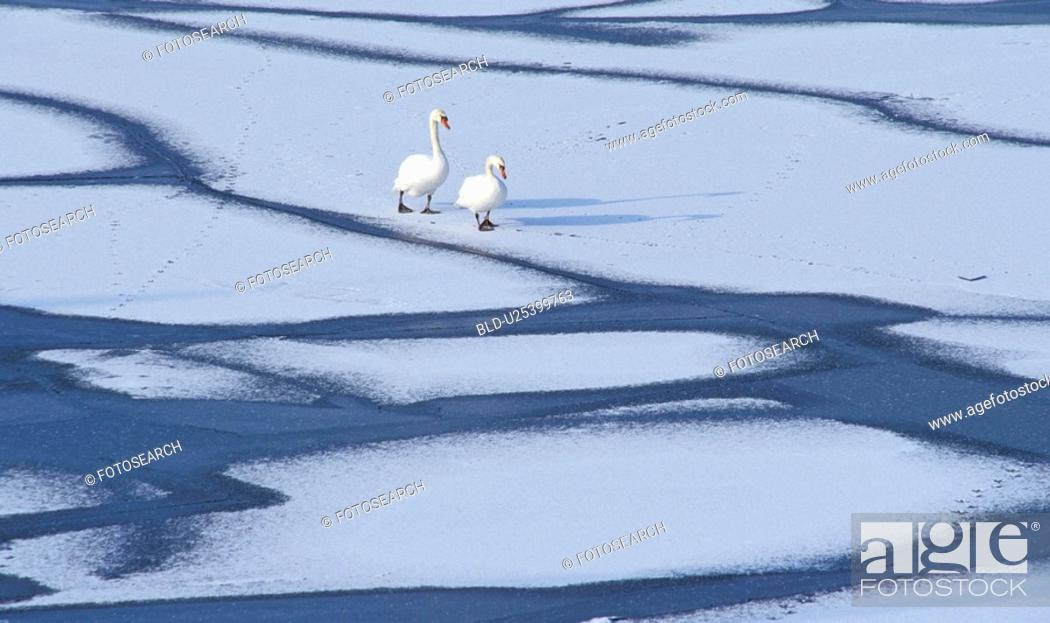 Stock Photo: Two swans on icy water surface.