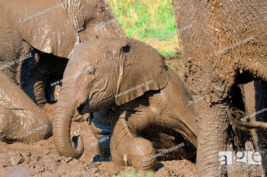 Stock Photo: African elephants Loxodonta africana, baby taking a mud bath, Kruger National Park, South Africa, Africa.