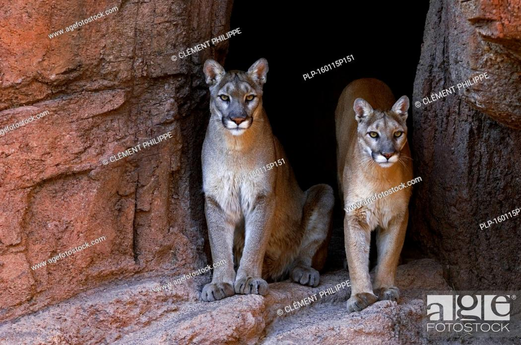 Stock Photo: Two pumas / mountain lions / cougars (Felis concolor) at entrance of cave, native to the Americas.