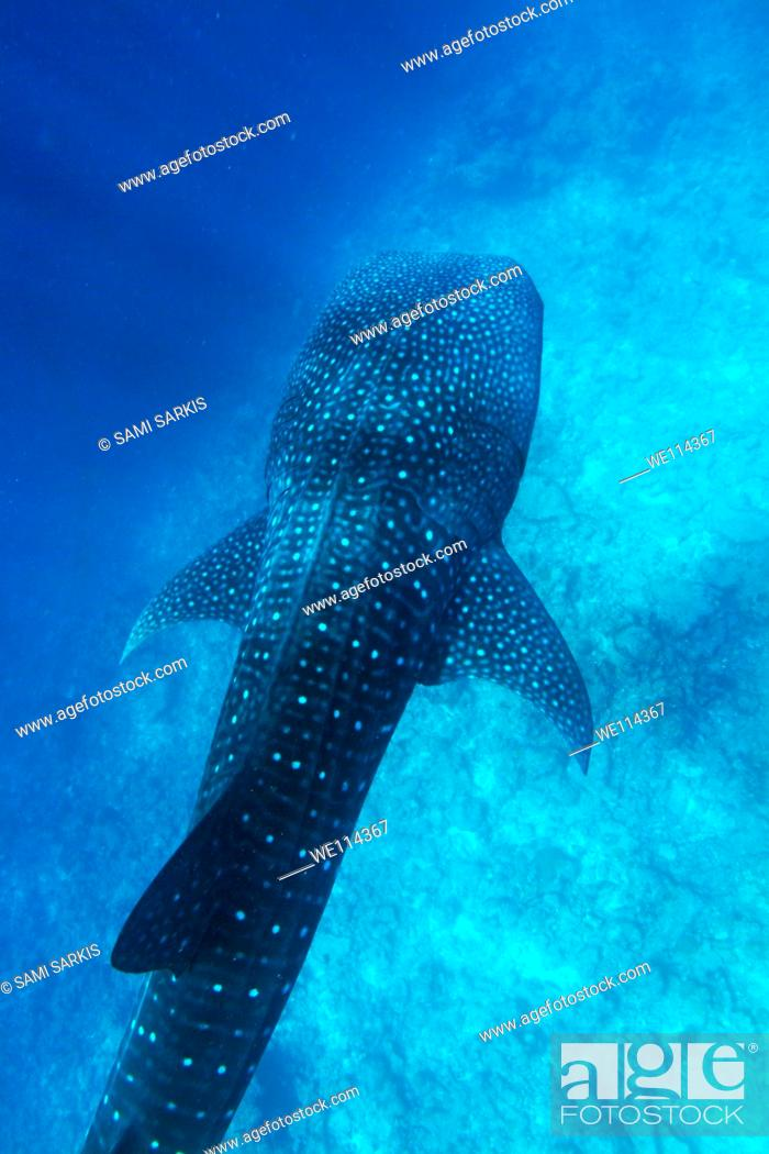 Stock Photo: Maldives ari atoll above a whale shark rhincodon typus.
