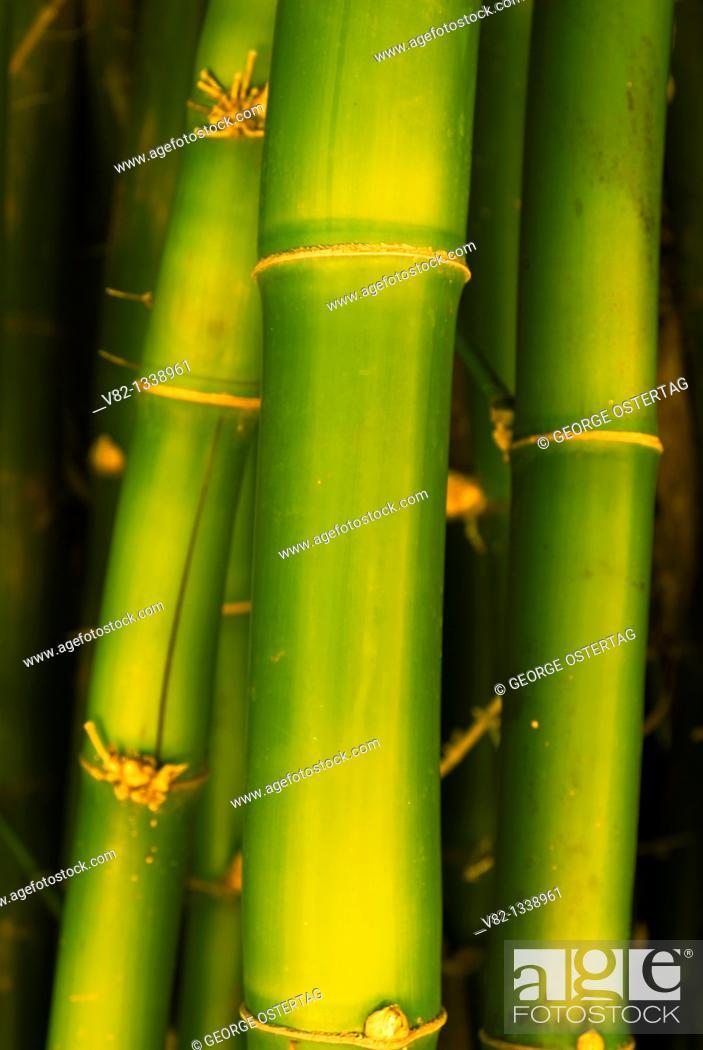 Stock Photo: Wamin bamboo Bambusa vulgaris, San Diego Botanic Garden, California.