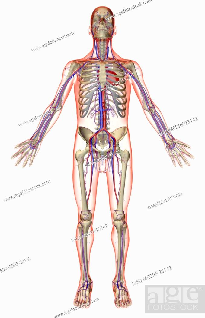 Stock Photo: The vascular system.