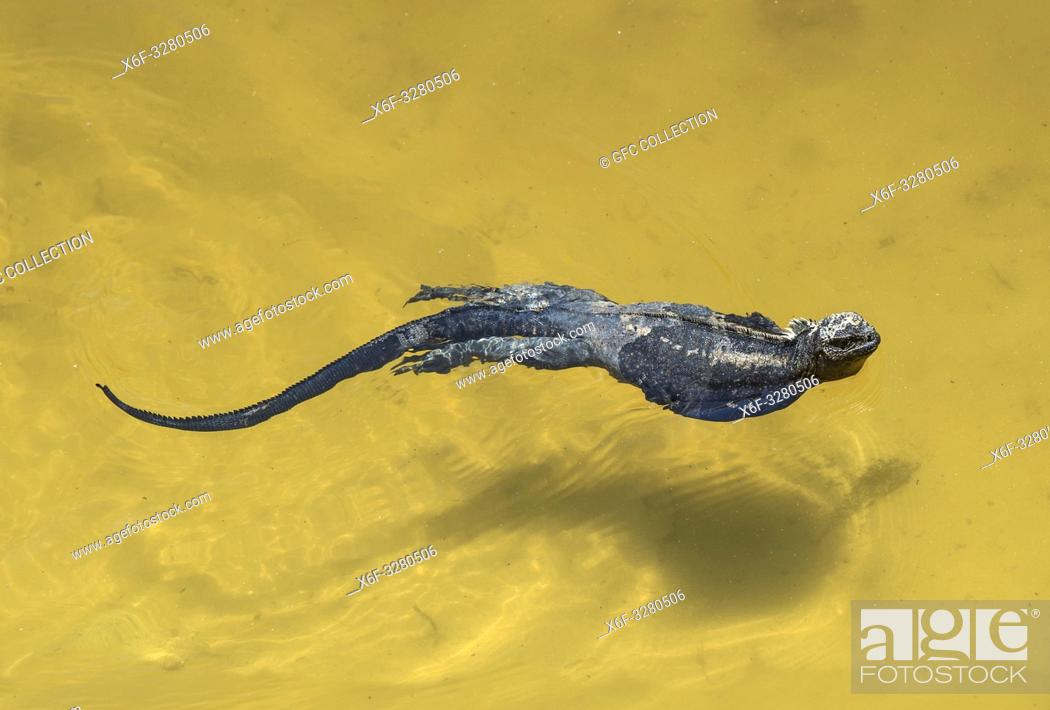 Stock Photo: Marine iguana Amblyrhynchus cristatus albemarlensis swimming in the sea, Isabela Island, Galapagos Islands, Ecuador.