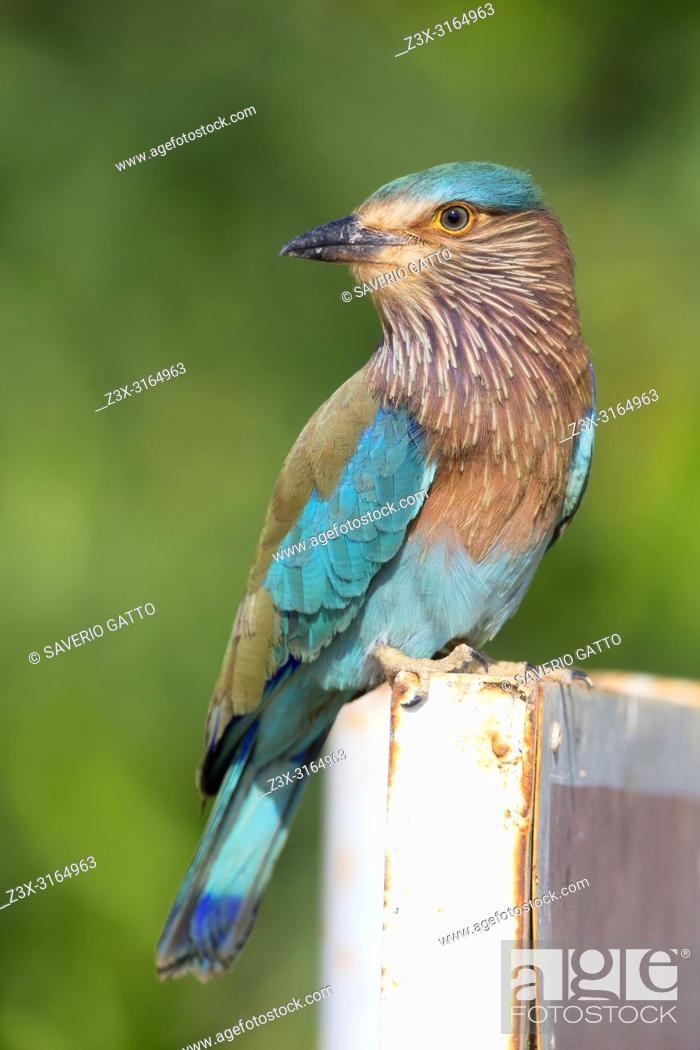 Stock Photo: Indian Roller (Coracias benghalensis), Standing on a post, Qurayyat, Muscat Governorate, Oman.