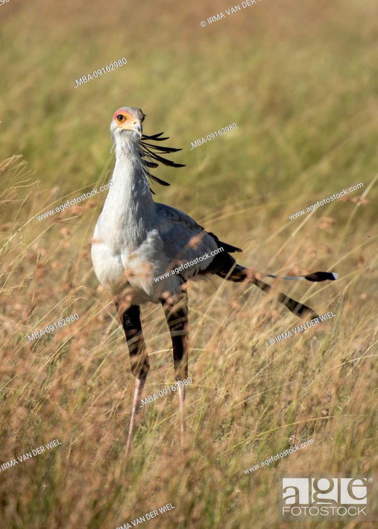 Stock Photo: Tanzania, Northern Tanzania, Serengeti National Park, Ngorongoro Crater, Tarangire, Arusha and Lake Manyara, secretary bird in the savannah.